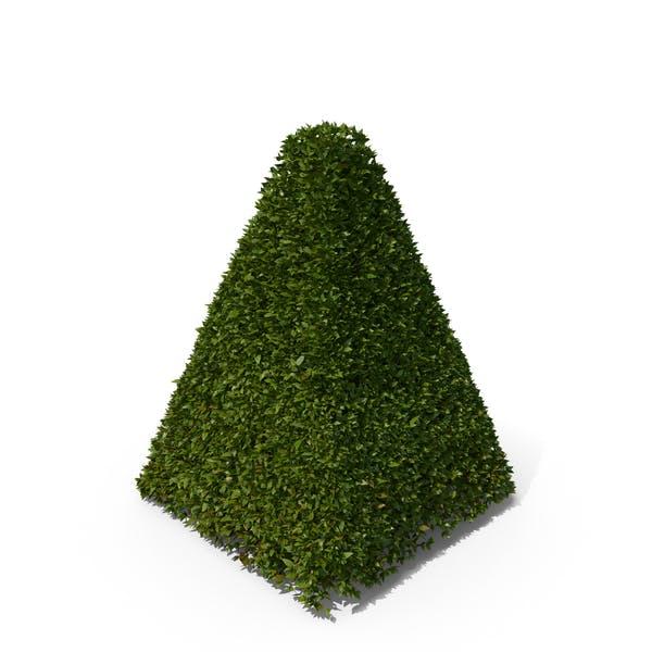 Pyramid Hedge Shrub