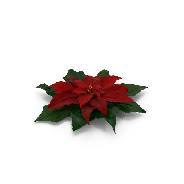 Thumbnail for Pointsettia
