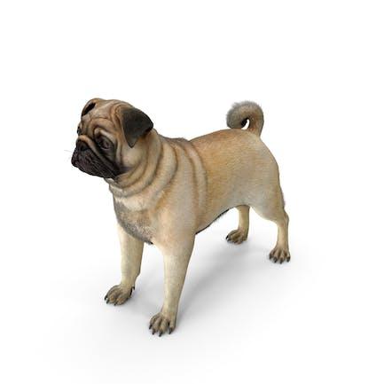 Pug Dog Neutral Pose Fur