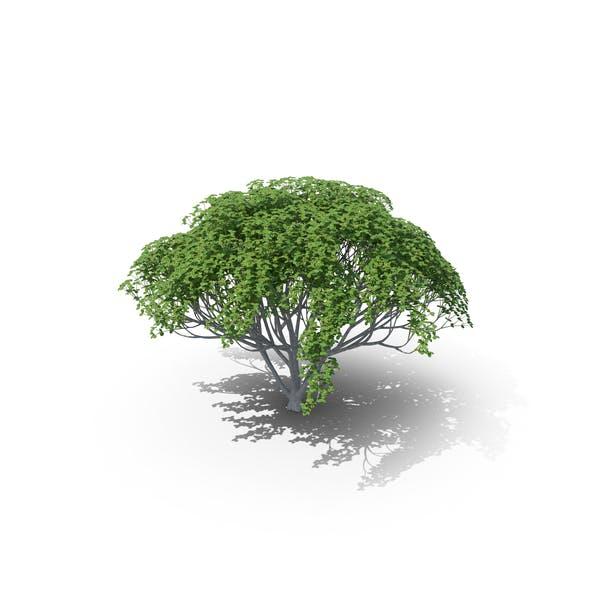 Thumbnail for Planta de Myrtle
