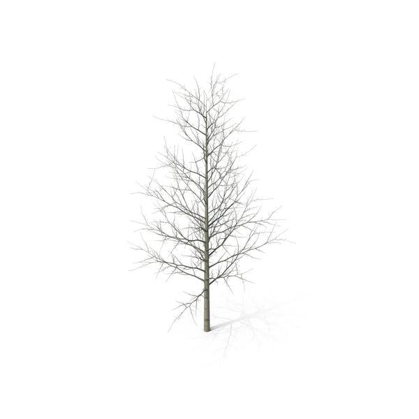 Young Yellow Poplar Tree Winter