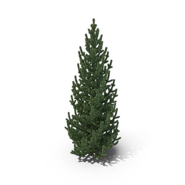 Medium Pine Tree