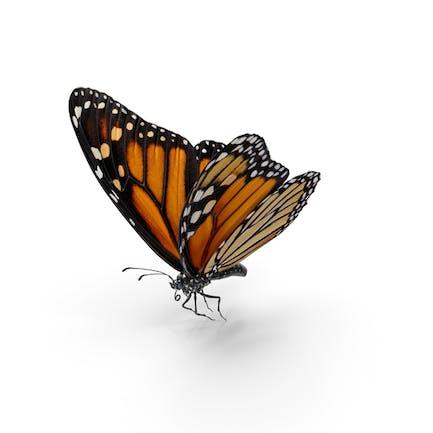 Milkweed Schmetterling Fliegende Pose