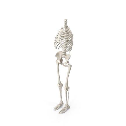 Menschliche Brustkorb Wirbelsäule Weibliche Becken und Beinknochen Anatomie Weiß