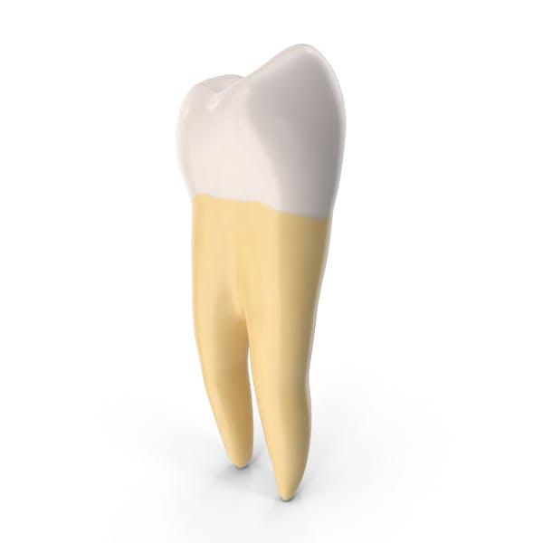 Молярная нижняя челюсть левая