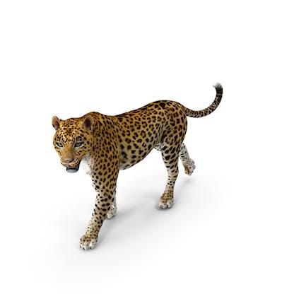 Pose Caminando Leopardo