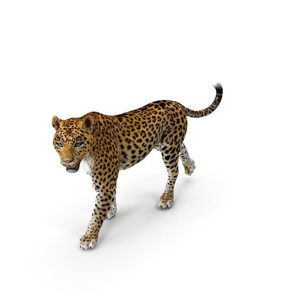 Leopard Walking Pose