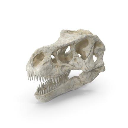 Tyrannosaurus Rex Schädel