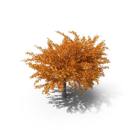 Cherry Tree Autumn