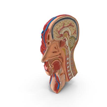 Cutaway de cabeza de anatomía