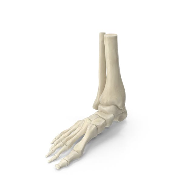 Thumbnail for Human Skeleton Foot