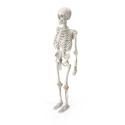 Menschliche Frau Skelett Knochen Anatomie mit Zwischenwirbelscheiben Weiß