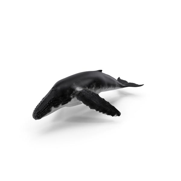 Cover Image for Humpback Whale