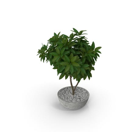 Blumentopf Plumeria