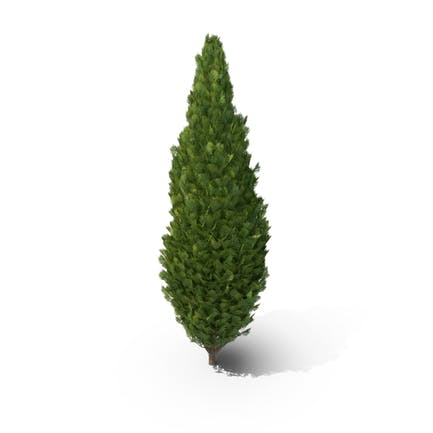 Cupressus Tree