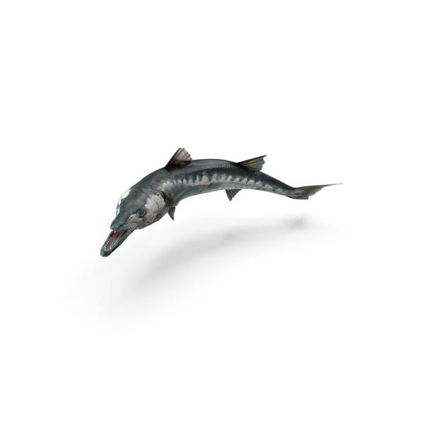 Barracuda Fish