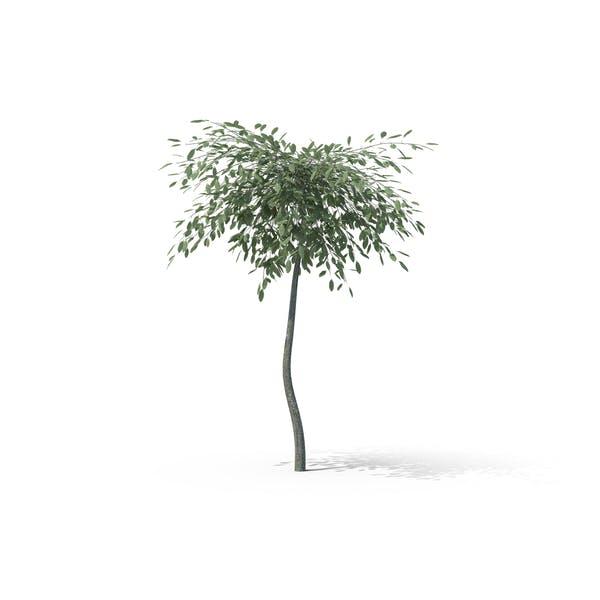 Thumbnail for Argentea Creeping Willow
