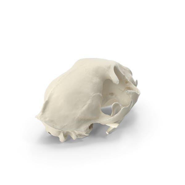 Домашний череп кошки
