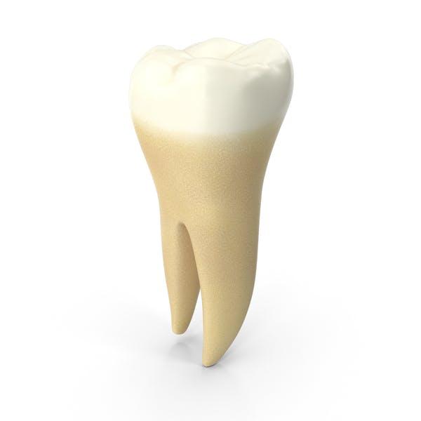 Нижний молярный зуб