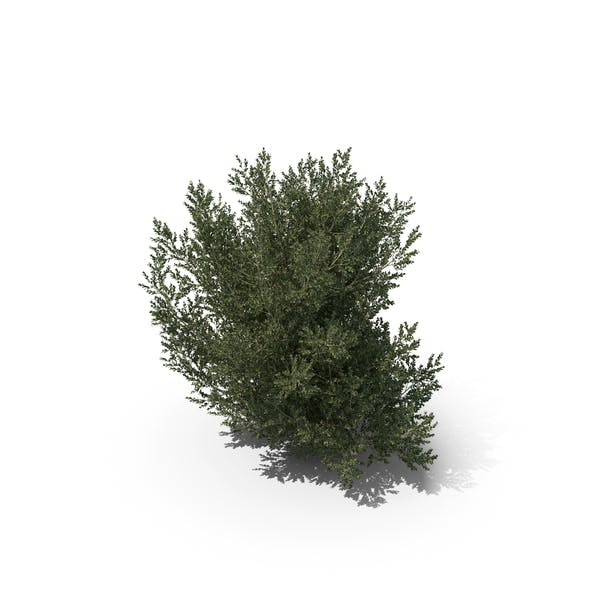 Plant English Holly