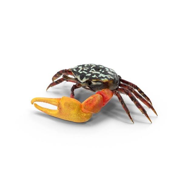 Thumbnail for Fiddler Crab