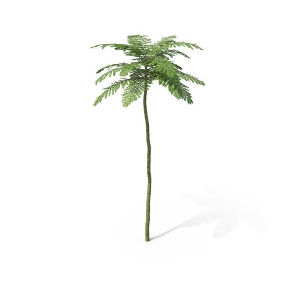 Brazilian Fern Tree